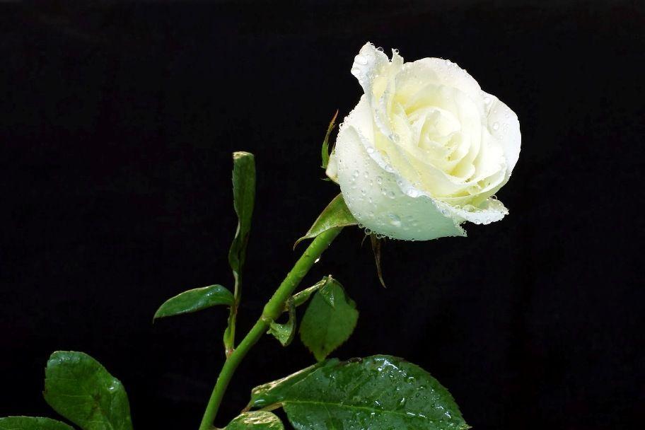 Gambar Bunga Mawar Putih Yang Basah