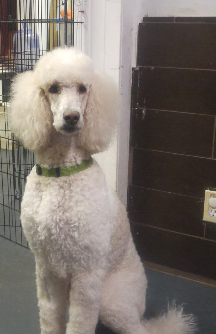Toy Poodle Blog With Images Parti Poodle Standard Poodle