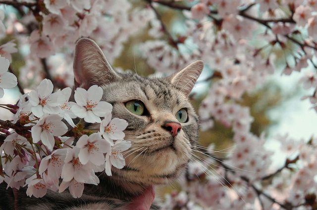 Sakura Cats Cat Flowers Animals