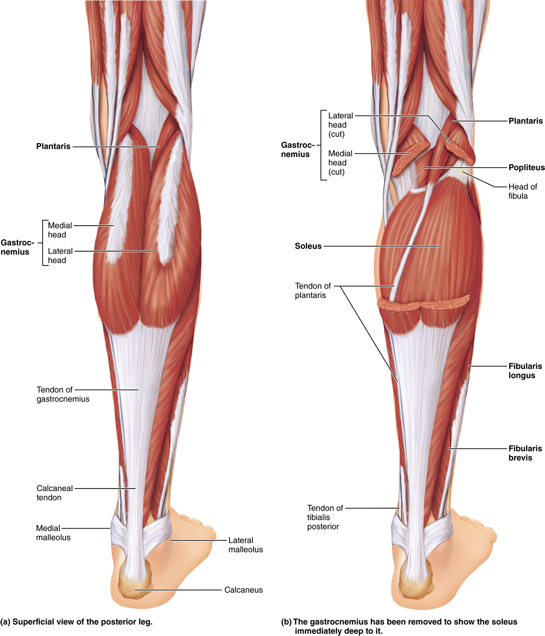 10.5 A muscle\'s origin and insertion determine its action: Human ...