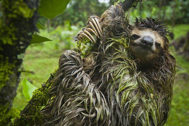 Sexual predator slothful