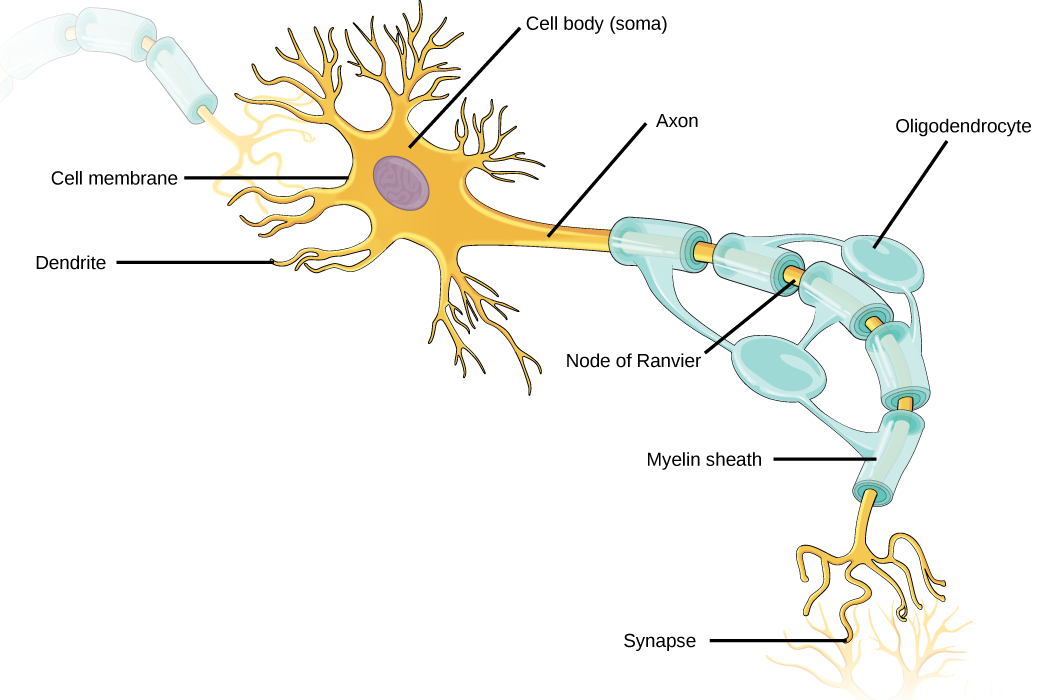 Neurons contain organelles common to many other cells, such as a ...