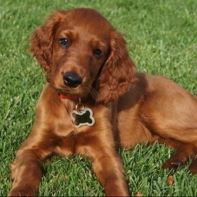 Irish Setter Dog Facts And Pictures Irish Setter Dogs Irish