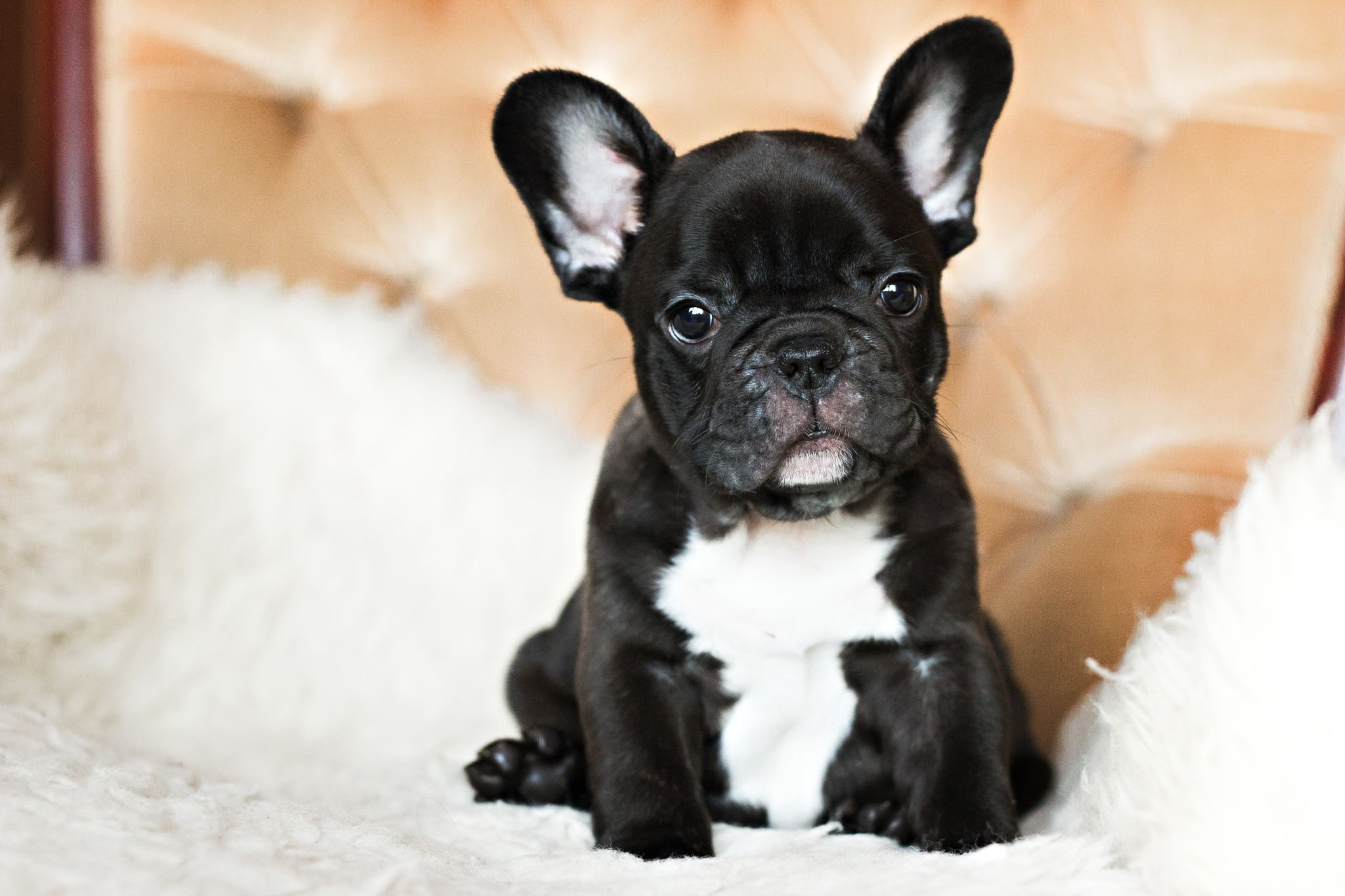 Morris Kittens and puppies, French bulldog puppies