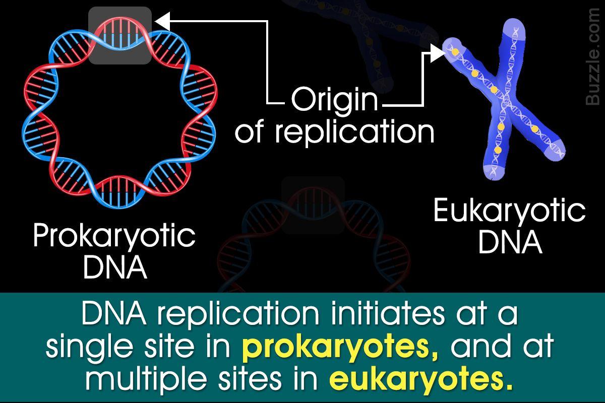 Prokaryotic Vs. Eukaryotic DNA Replication Assignment