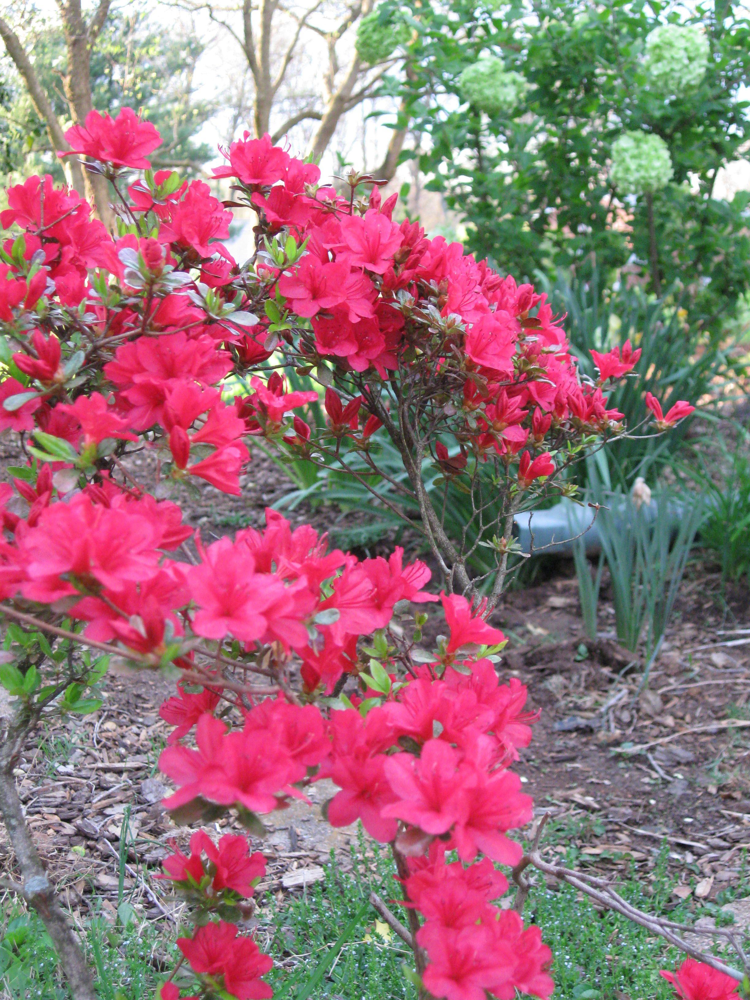 Myrtle Perennial Ground Cover: Azalea 'Girard's Crimson'