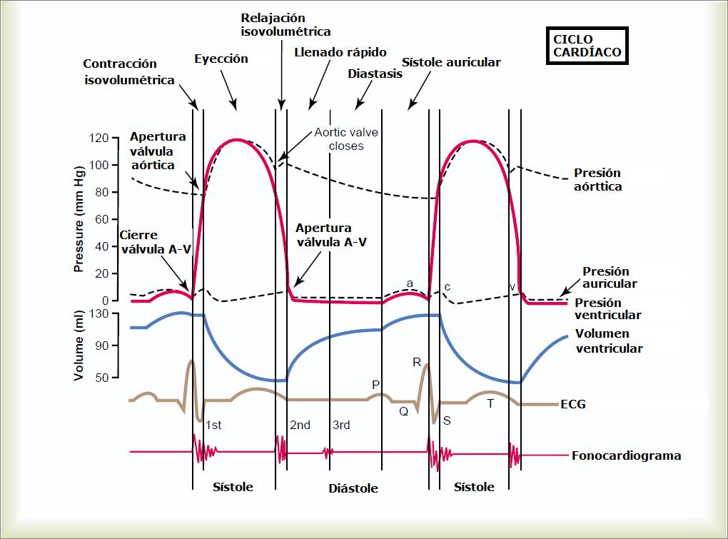 Curso: Fisiología Cardio-Respiratoria, Tema: 4- Ciclo cardíaco   VET ...