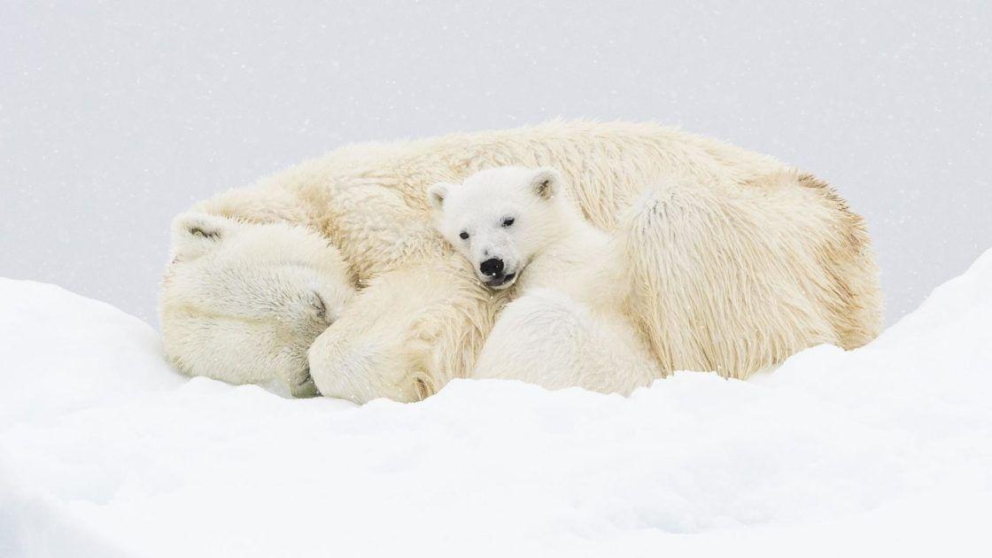 Wallpaper Et Fond D Ecran Ours Famille Polaire Neige Nature Animals Animaux En 2020 Ours Blanc Fond D Ecran Ours Animales