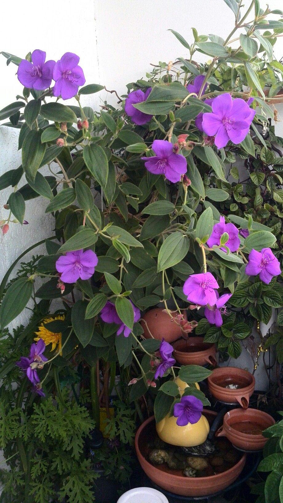 Ipomoea--grandiflora Prinzessinblume