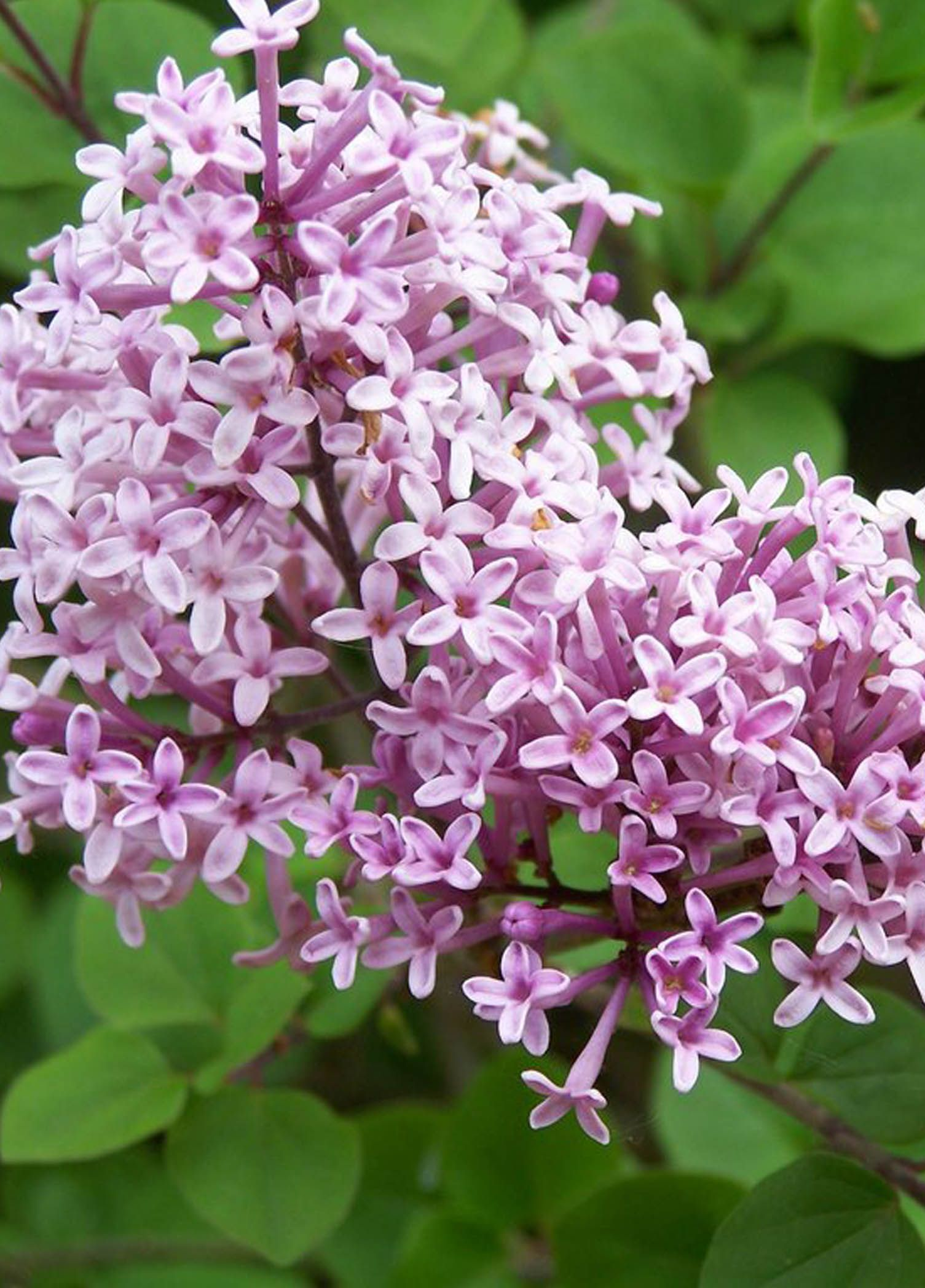 Meyer Lilac Palibin Fragrant Red Purple Buds Open To Pink Blooms In May The Hardiest Easiest To Grown Great Mildew Res Lilac Flowers Lilac Plant Syringa