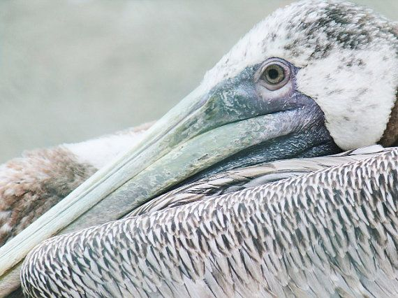 Bird Photography Pelican Art Print via Etsy