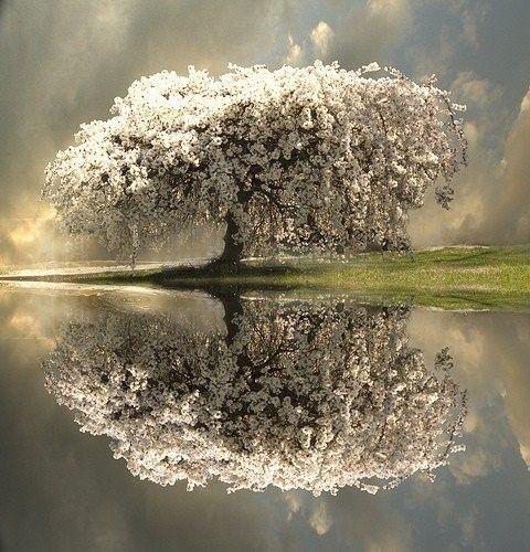 elegant- I think Dogwood tree