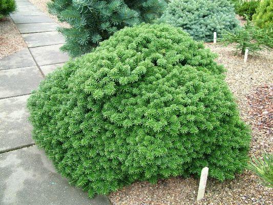 Abies Koreana Cis Conifer Arbusti