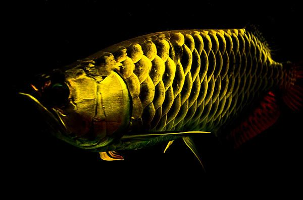 Gold dragon fish systemic steroid potency table