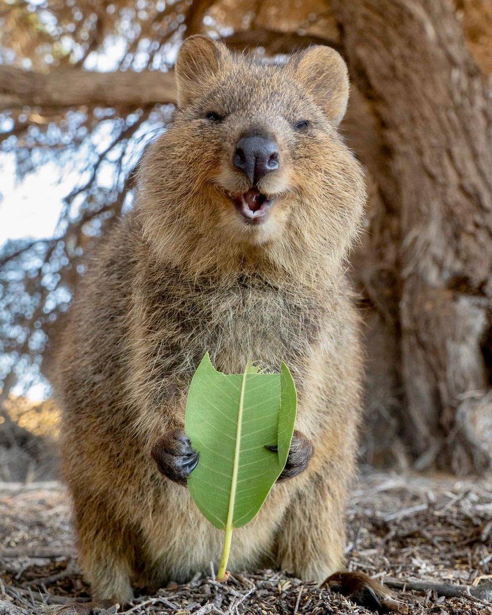 Australia On Happy Animals Animals Quokka