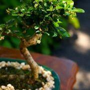 How To Take Care Of A Gardenia Bonsai Ehow Dwarf Gardenia Bonsai Leafy Plants