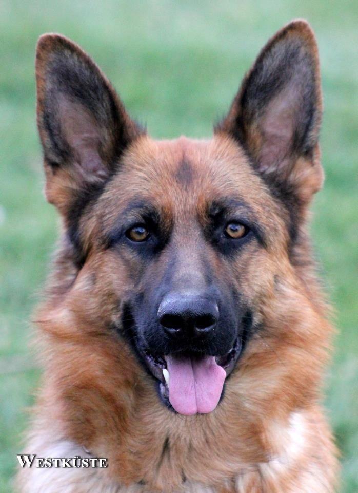 My German Shepherd Malibu Von Der Westkuste German Shep German Shepherd Dogs Dogs