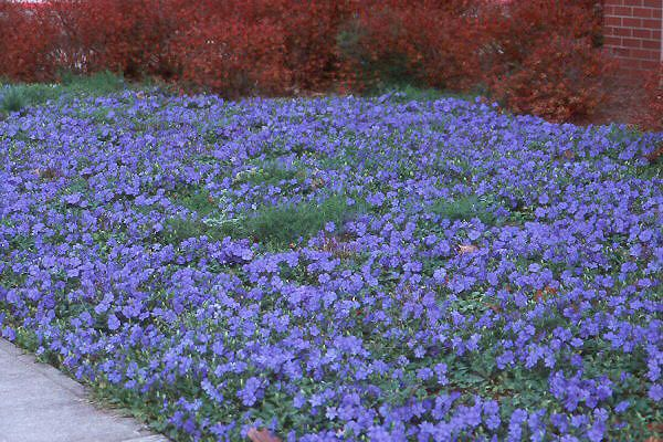Fast spreading ground cover high by fast spreading wide ground fast spreading ground cover high by fast spreading wide ground cover with small purple flowers mightylinksfo