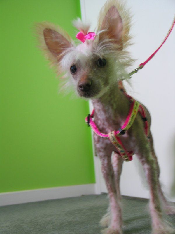 Chinese crested puppy | Chinese created dogs Bald is beautiful ...