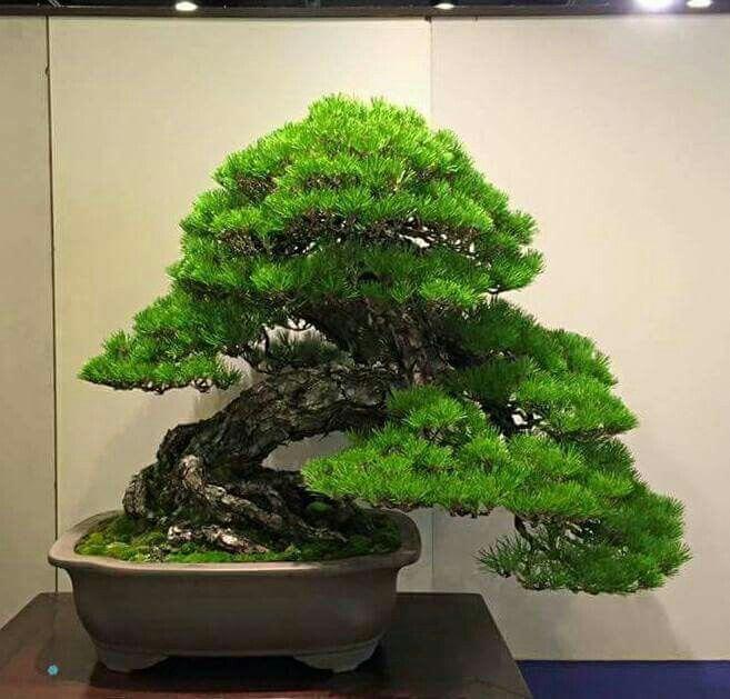 Indoor Bonsai Aboutthebonzaitree Indoor Bonsai Tree Bonsai Tree Indoor Bonsai
