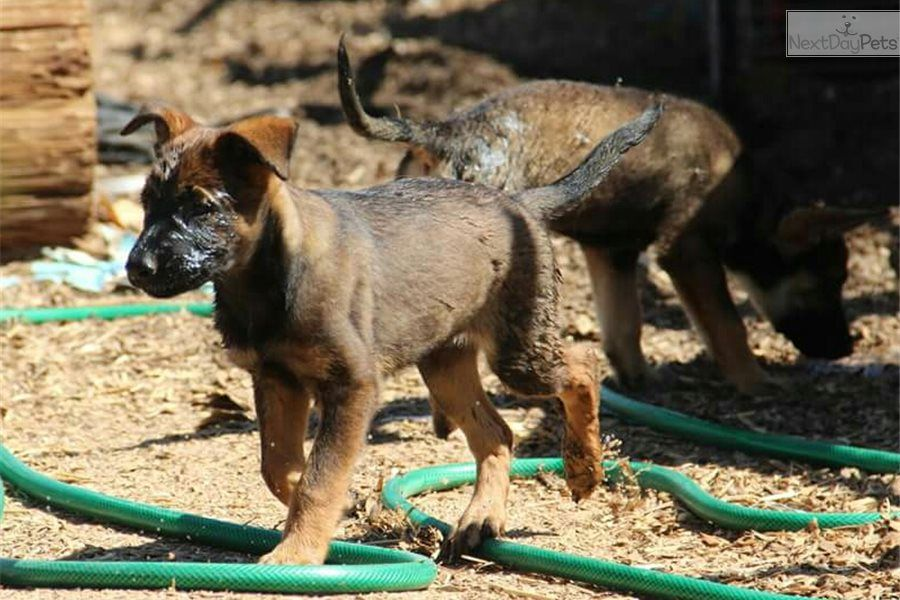 I Am A Cute Belgian Malinois Puppy Looking For A Home On Nextdaypets Com Malinois Belgian Malinois Belgian Malinois Puppies
