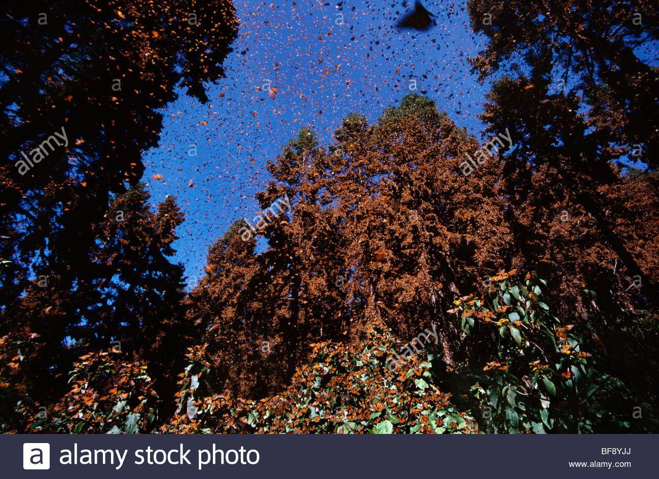 Oyamel Fir Trees Mexico