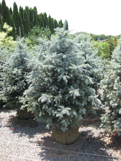Plants In Their Prime From Nj S Leading Wholesale Nursery Picea Pungens Plants Evergreen Landscape
