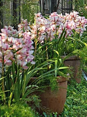 Cymbidium Culture For Beginners Cymbidium Orchids Care Growing Orchids Orchids Garden