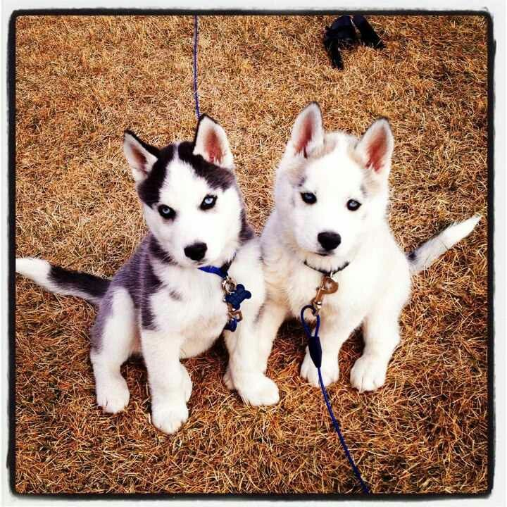 From Colorado Husky Dogs Siberian Husky Puppies Husky