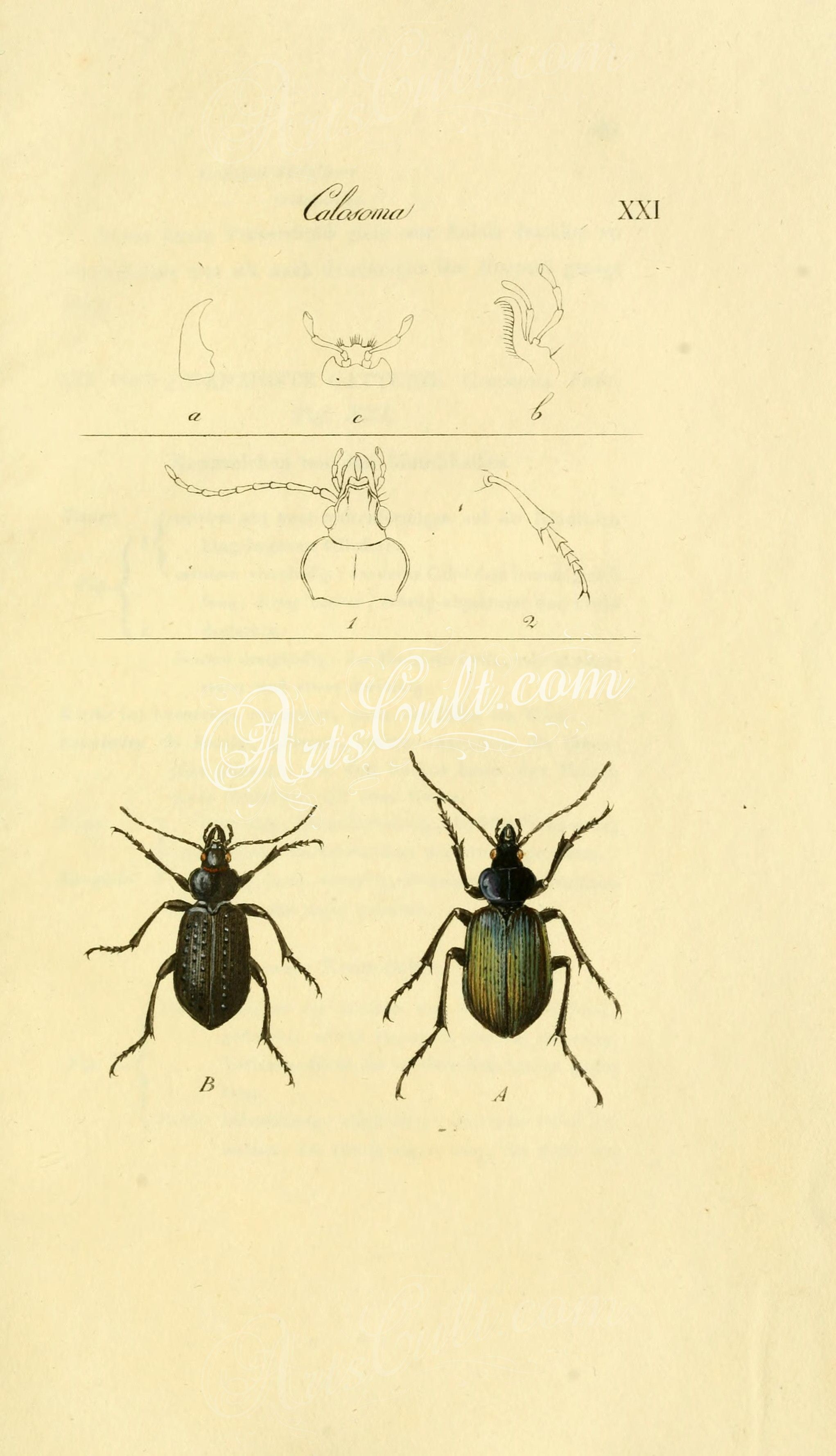 199-ceroglossus, plagiotelum, dromius, coptodera, lebia, oxoides, variopalpis, omalodera, trechus, thalassobius      ...