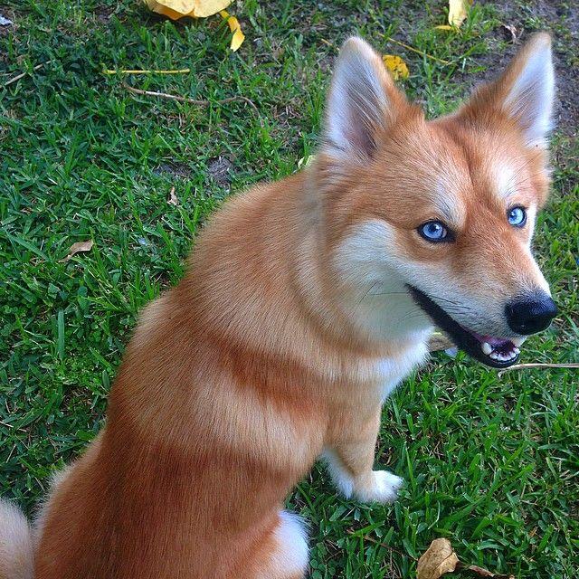 Instagram Photo By Mya The Pomsky Jan 23 2015 At 4 04pm Utc Cute Dog Mixes Fox Dog Cute Dogs