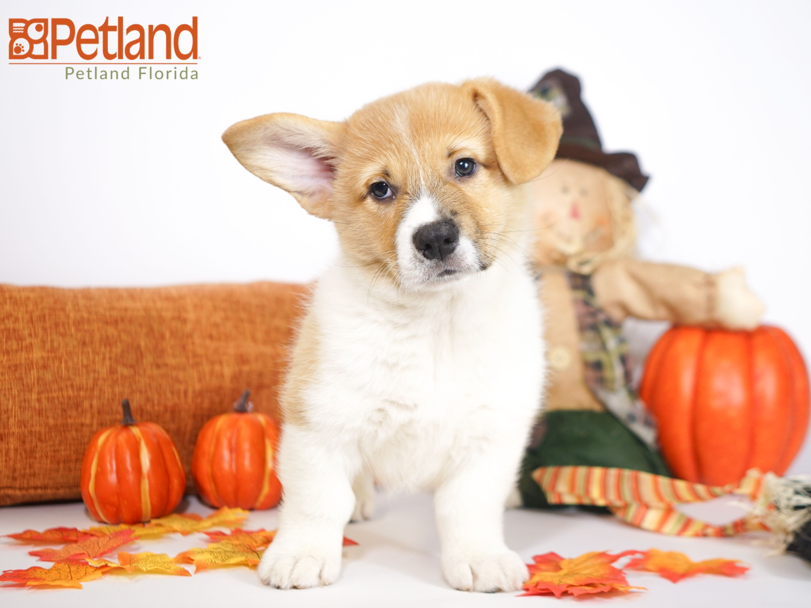 Puppies For Sale With Images Puppy Friends Puppies Pembroke Welsh Corgi Puppies