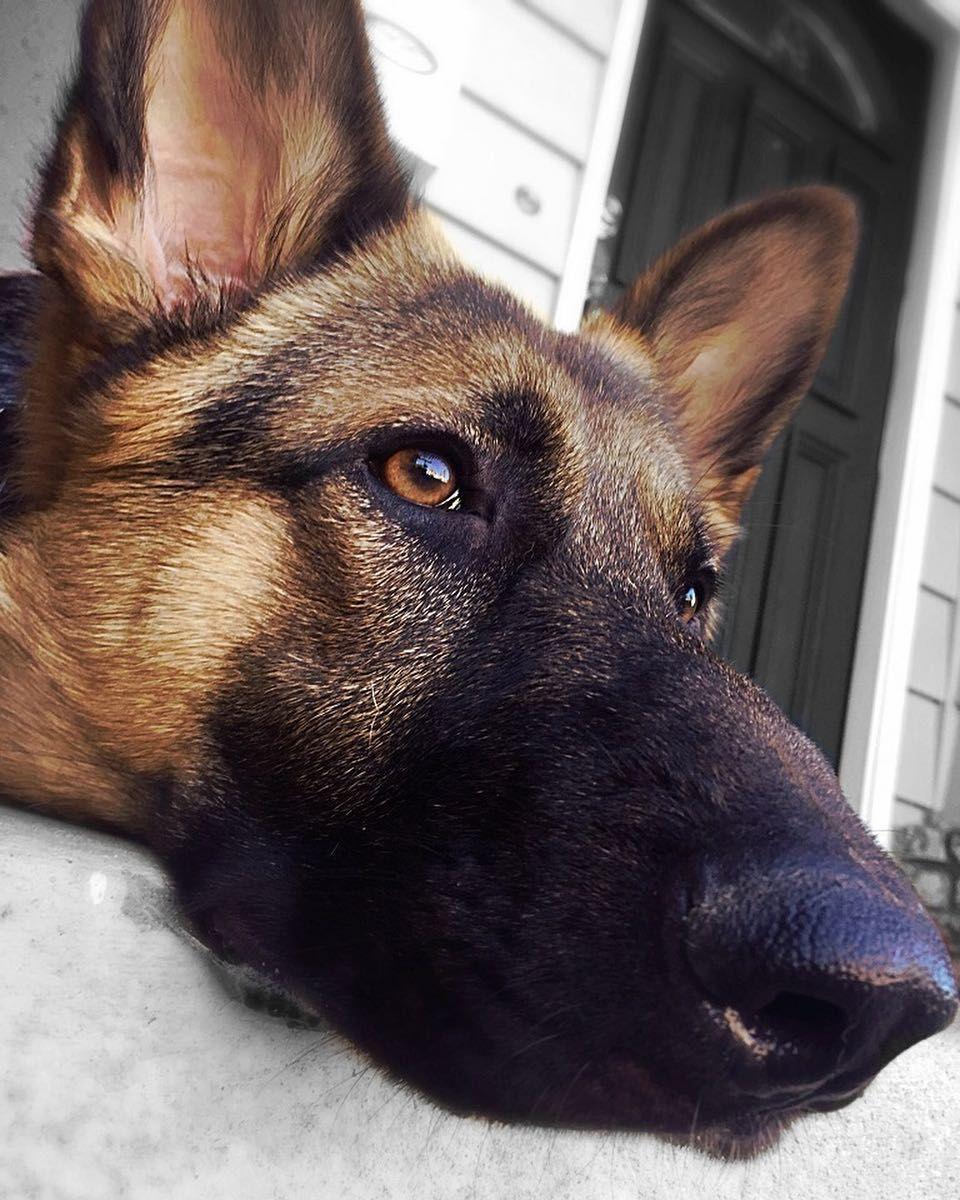 Hi My Name Is Rocket Whats Yours Germanshepherd Shepherd Dog