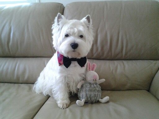 With My Pal Piglet Westie Dogs Westie Terrier Westies