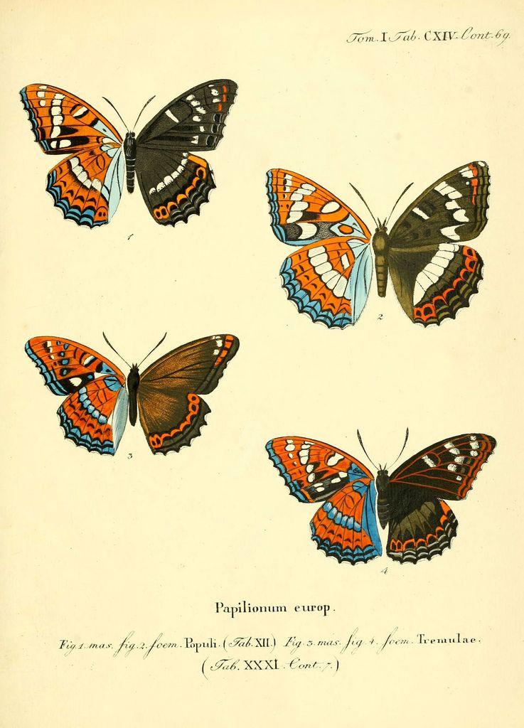 https://flic.kr/p/aik9Uj   n236_w1150   Die Schmetterlinge in Abbildungen nach der Natur. v.1 plates. Leipzig :T.O. Weigel,[1829-1839] biodiversitylibrary.org/page/15665255