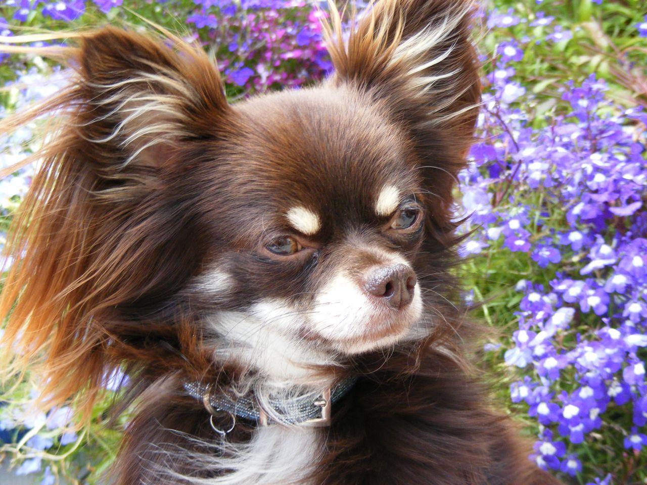 Kc Reg Chocolate Chihuahua Stud Long Haired Chihuahua Chihuahua