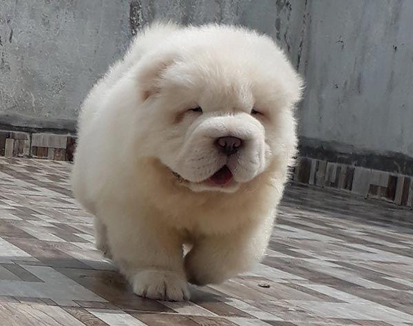 Dijual Anjing Chow Chow Jual Chow Chow Puppies Jantan Dan Betina