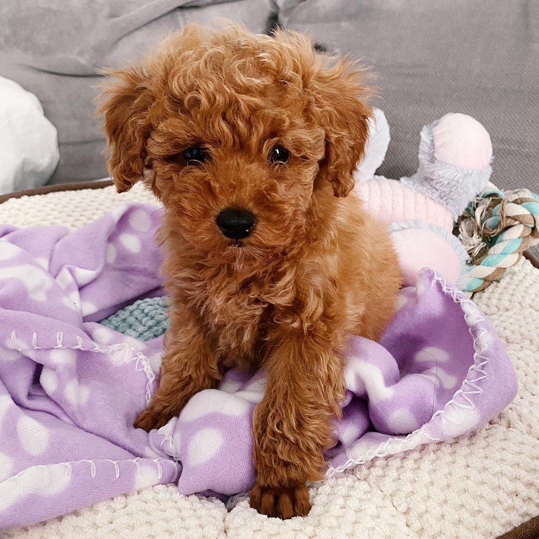 """Polubienia: 15.5 tys., komentarze: 234 – marvel the poodle (@marvel.thepoodle) na Instagramie: """"cześć, jestem marvel. 💜"""""""