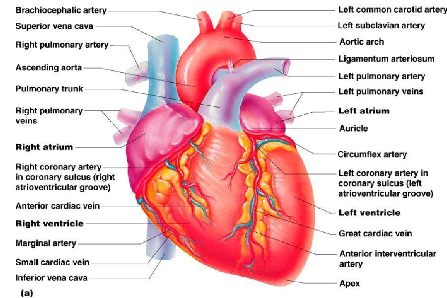 Heart Anatomy Diagram Labeled Outline - Complete Wiring Diagrams •