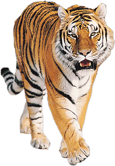 Tiger Png Image Free Download Tigers Image With Transparent Background Tiger Images Tiger Pictures Tiger