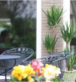 Yucca Elephantipes  No la riegues en exceso y procura que no se quede nunca agua en la maceta. Si riegas esta planta demasiado, empezará a estirarse y a crecer de forma lacia. Además verás que se forman puntas marrones en las hojas, rodeadas de un ribete de color amarillo. No pasa nada si alguna vez el cepellón se seca un poquito.