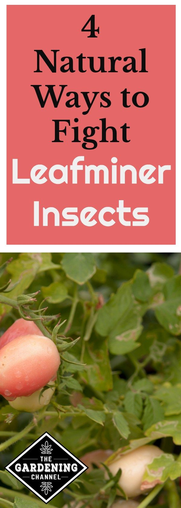 How To Fight Leafminer Insects Garden pests, Garden