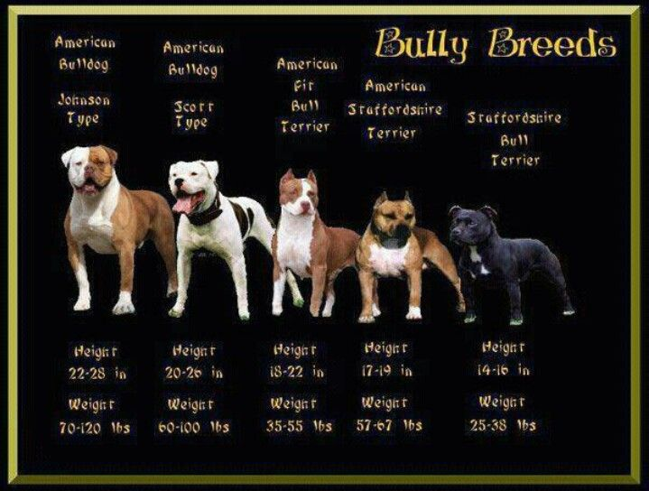 Misconception Of The Breeds Bully Dog Pitbull Terrier Dogs