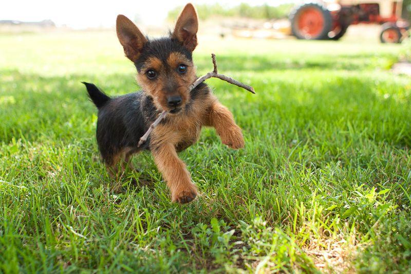 Australian Terrier Puppy Its A Doggie Dog World Pinterest