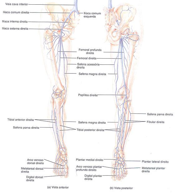 Aula De Anatomia Sistema Cardiovascular Sistema Venoso Vasos