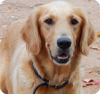 Sussex Nj Golden Retriever Meet Opal 45 Lbs A Puppy For