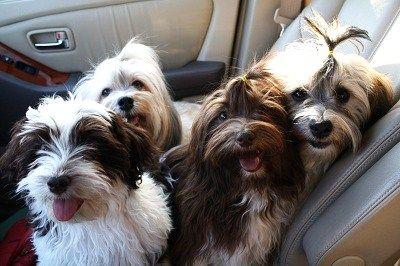 Nevena S Truelove Havanese Nevada Havanese Puppies Havanese Dogs Havanese