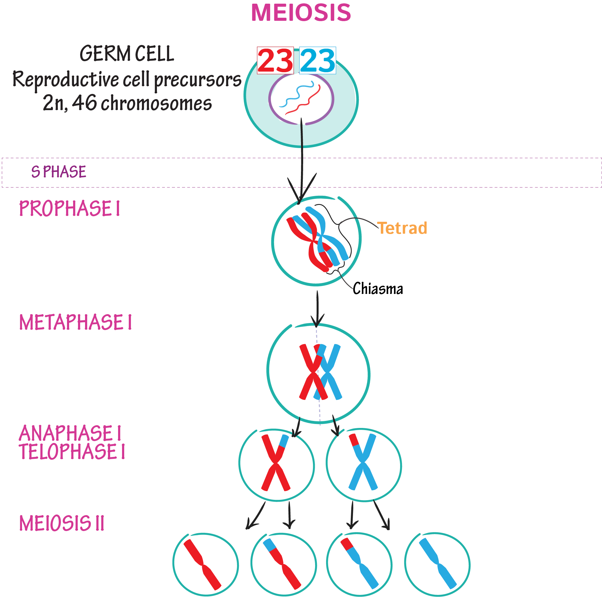 Meiosis Draw It To Know It Meiosis Cell Biology Biology