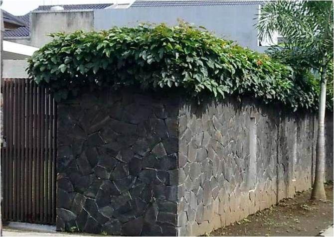 Memperindah Pagar Dinding Pergola Dengan Tanaman Rambat Berbunga Tanaman Rambat Pergola Tanaman