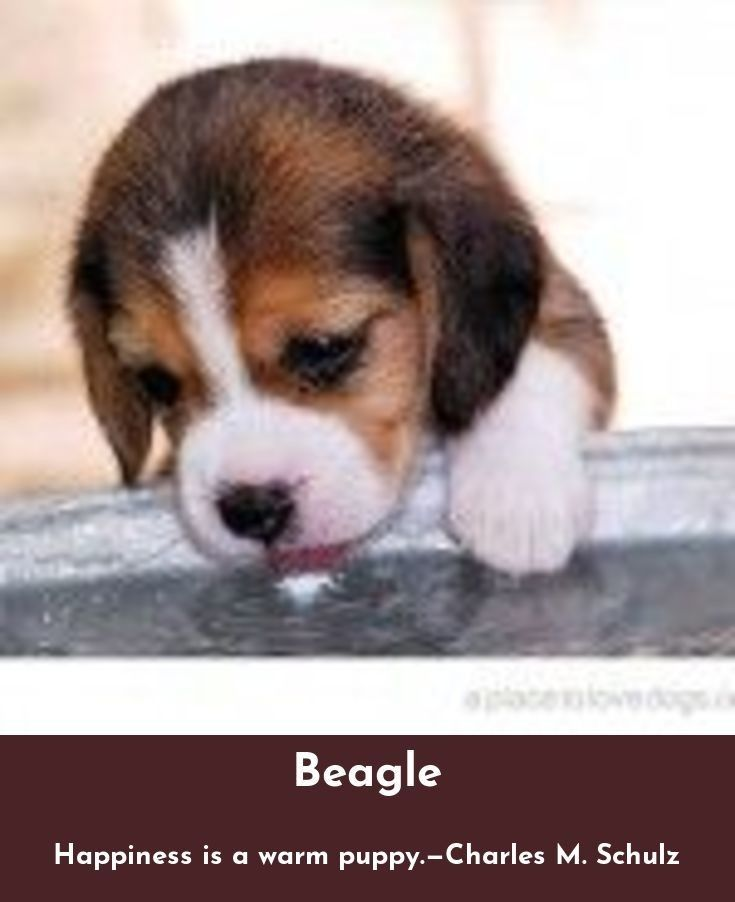 Discover More About Beagles Beagles Check The Webpage For More